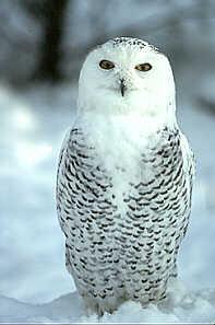 Sowy Owl 2