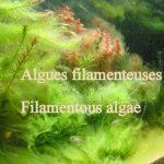 Algues filamenteuses 2