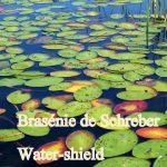 Brasenia-schreberi-001