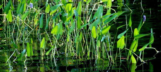 An inventory of aquatic plants on Clear lake: all's clear!