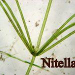Nitella 2