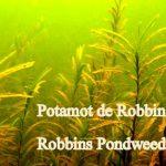 Potamot de Robbins 2