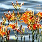 Hémérocales sur la rive du lac Clair.