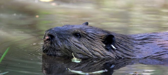 Living peacefully with beavers, our discreet and emblematic herbivores.